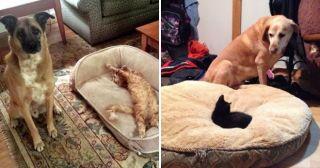 25 грустных и недоумевающих собак, у которых коты отобрали лежаки