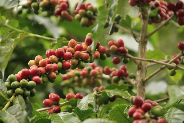 kongolezskoe-kofejnoe-derevo.jpg