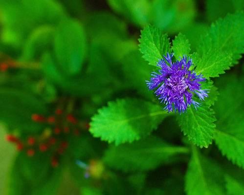 Цветок-мяты.jpg