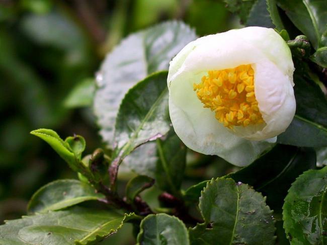 Camellia-sinensis-Tea-3-©Juni.jpg