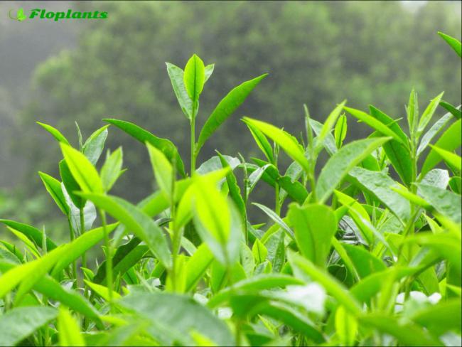 Camellia-sinensis-Tea-7-1024x769.png
