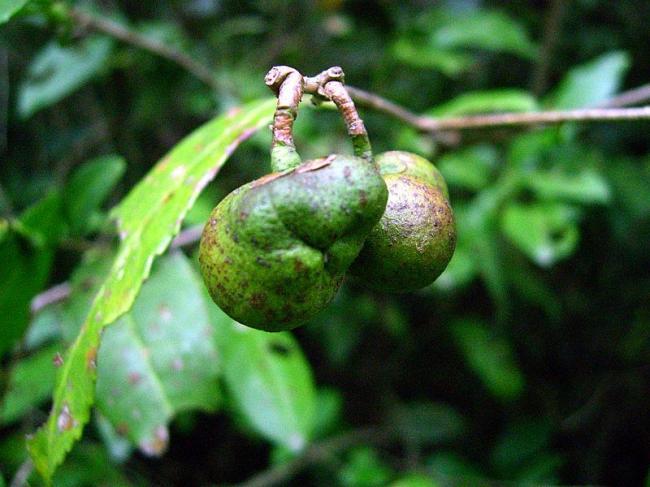 Camellia-sinensis-Tea-4-©Shizhao.jpg