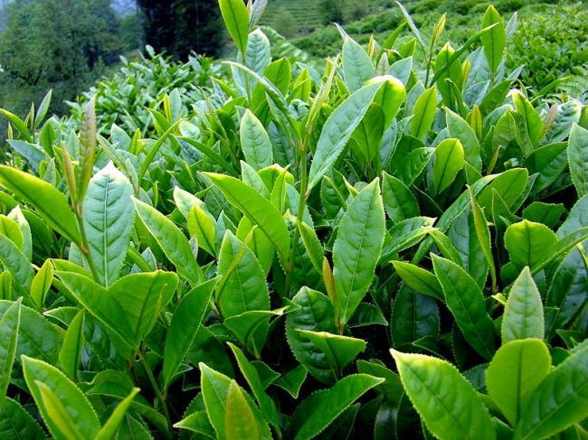 Camellia-sinensis-Tea-2-©Fagus.jpg