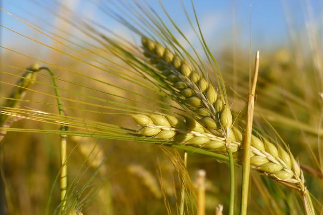 Close-Grain-Barley-Nature-Cereals-Field-2807444.jpg