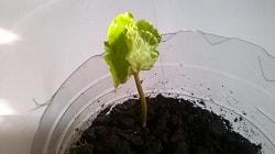 Arabica_coffee_seeds12M.jpg