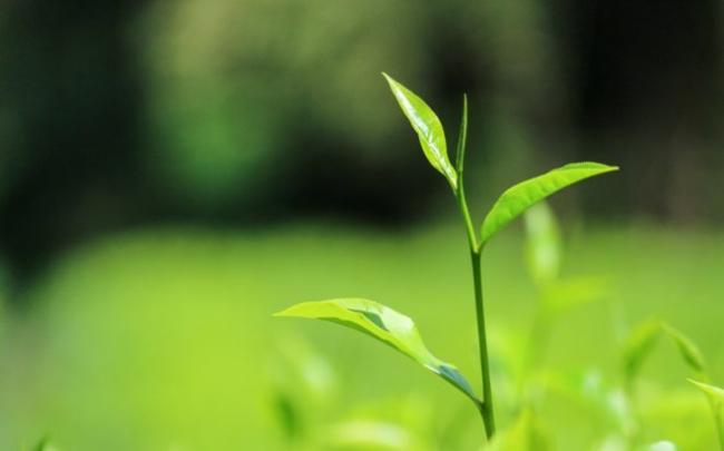 tea_ceylontea_srilanka_tealeaves_nature_green_natural_grass-1031673.jpgd_-e1512461275677.jpg