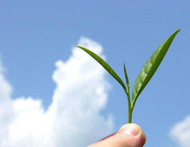 800px-Organic_mountain_grown_tea_leaf-e1512461587427.jpg