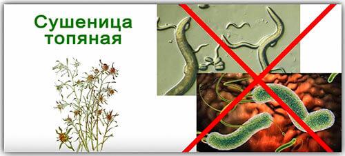 Сушеница в составе чая против паразитов