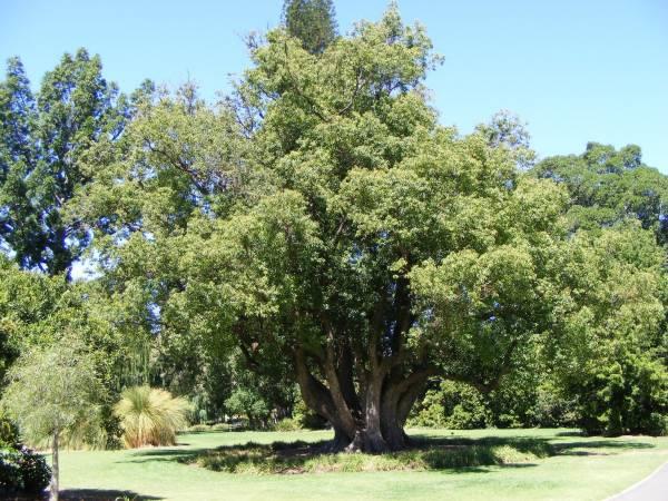 1ДеревоТак-выглядит-коричное-дерево.jpg