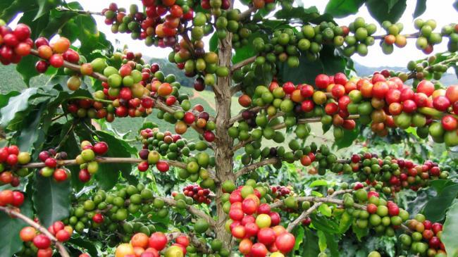 1АрабикаКофейное-дерево-арабика-с-созревающими-плодами.jpg