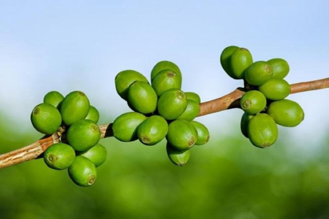 zelenij-kofe.jpg