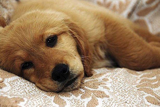 symptoms-of-tea-tree-oil-poisoning-in-a-dog.jpg