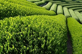 3.24-green-tea.jpg