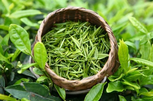 Свежесобранные-листья-зеленого-чая.jpg