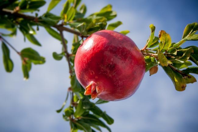 pomegranate-2103105_960_720.jpg
