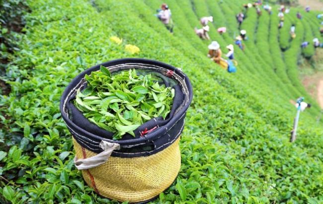 Green-tea-plantation.jpg