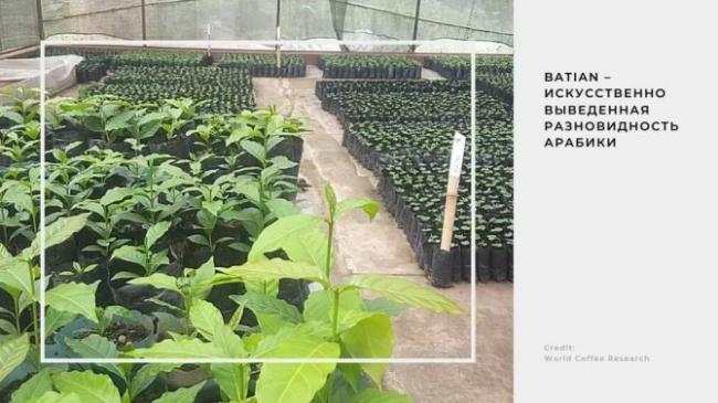 batian-iskusstvenno-vyvedennaya-raznovidnost-arabiki-ustojchivaya-k-kofejnoj-rzhavchine-i.jpg