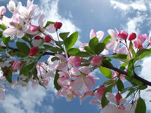 Вишня-цветет.jpg