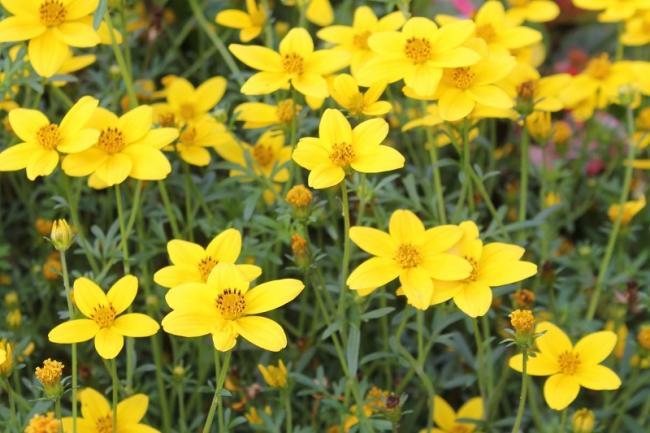 Bidens-ferulifolia-1.jpg